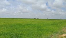 Rice Field Land In Kompong Thom